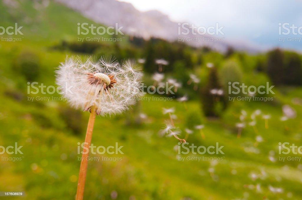 Dandelion Blown stock photo