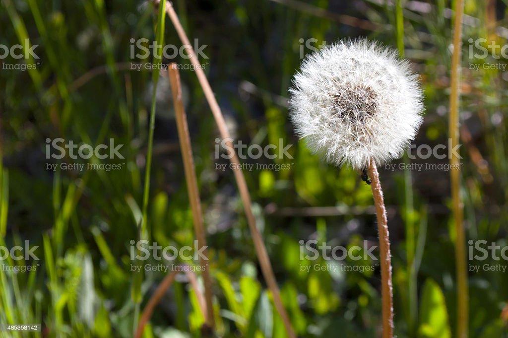 Dandelion - breath of spring stock photo