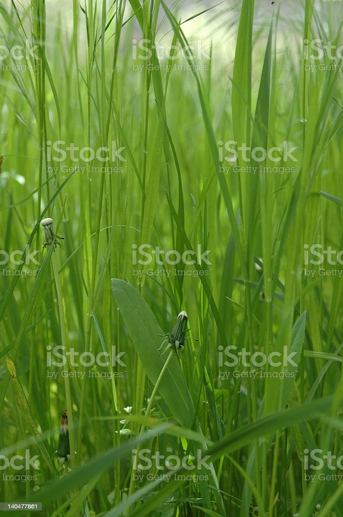 dandelion bud and green grass royalty-free stock vector art
