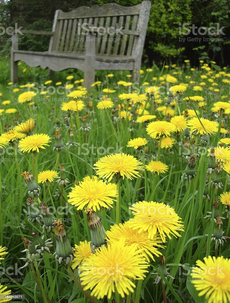 Dandelion carpet royalty-free stock photo