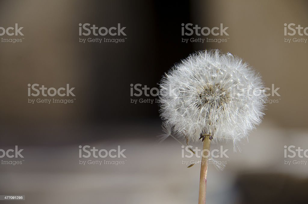 Dandelion Clock dispersing seed in brown blured background stock photo