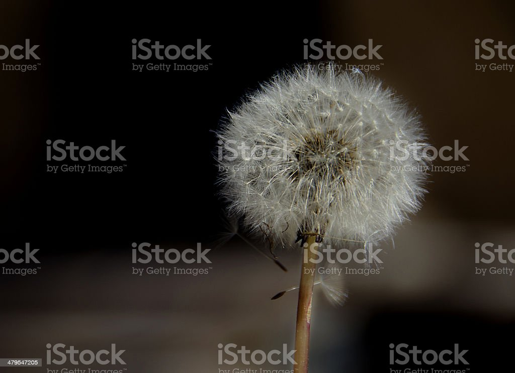 Dandelion Clock dispersing seed in brown blurred background stock photo