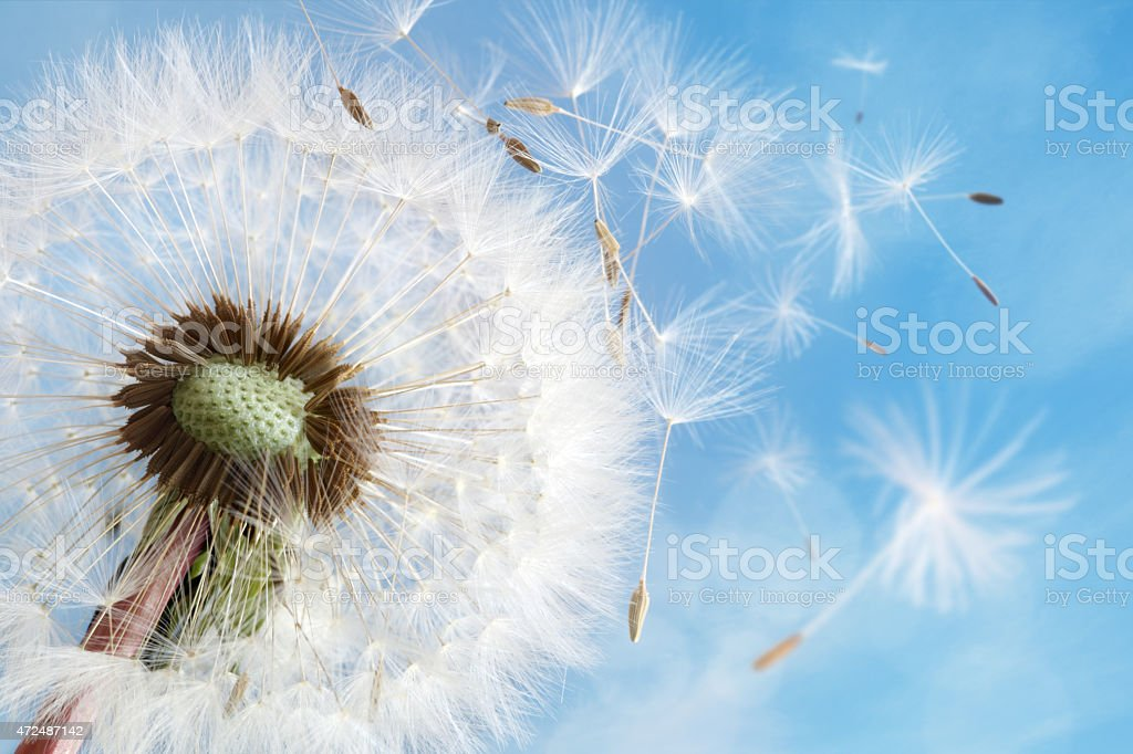 Dandelion clock dispersing seed stock photo