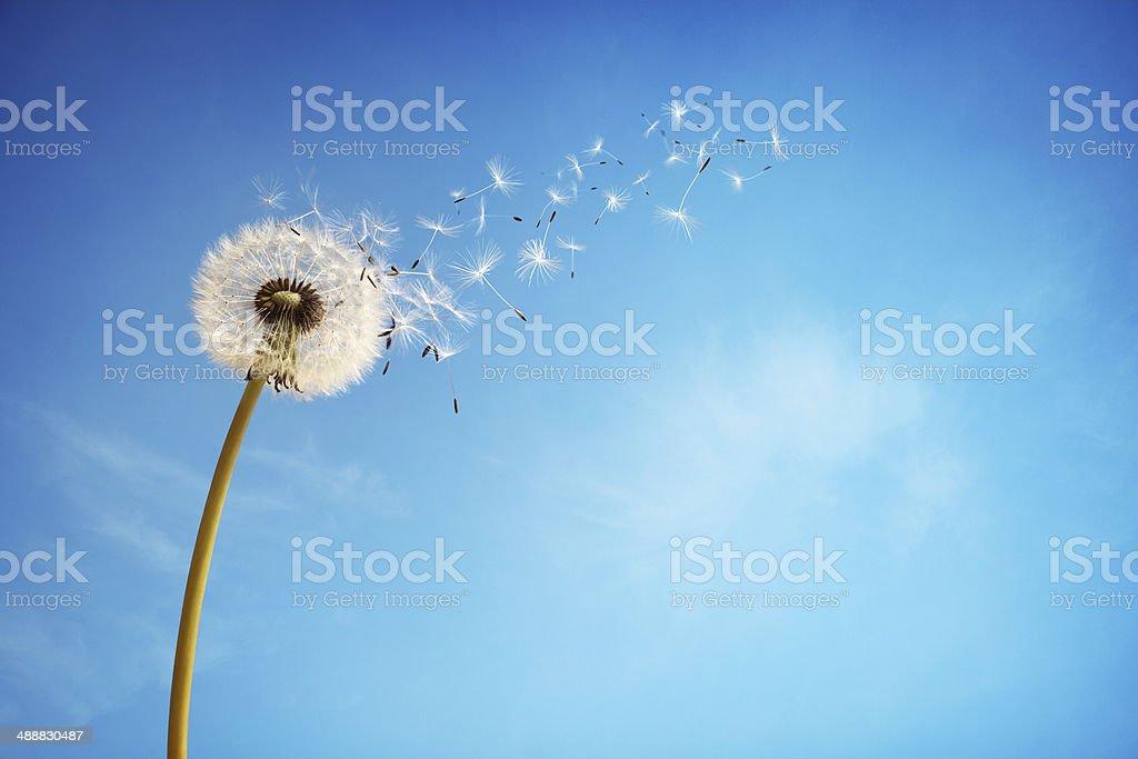 Dandelion clock dispersing seed royalty-free stock photo