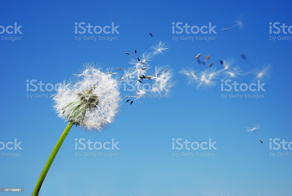Dandelion Clock dispersing seed with blue sky in the background stock photo