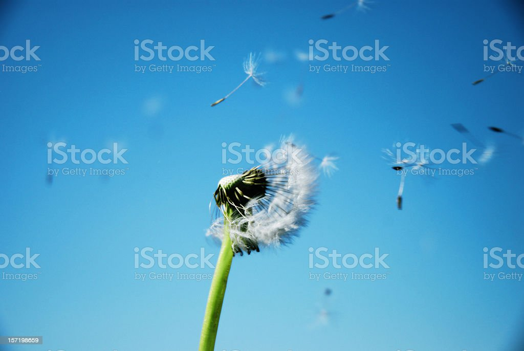 Dandelion Clock Dispersing Seed With Clean Blue Sky In Background stock photo