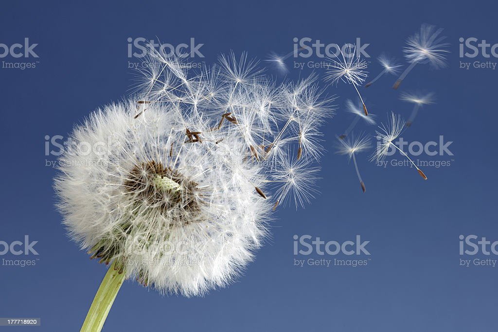 Dandelion clock dispersing seeds royalty-free stock photo