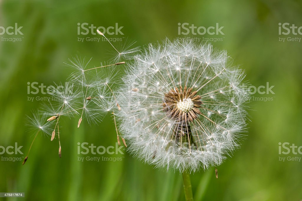 Dandelion clock dispersing seeds stock photo
