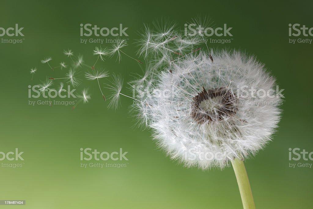 Dandelion clock in morning mist stock photo