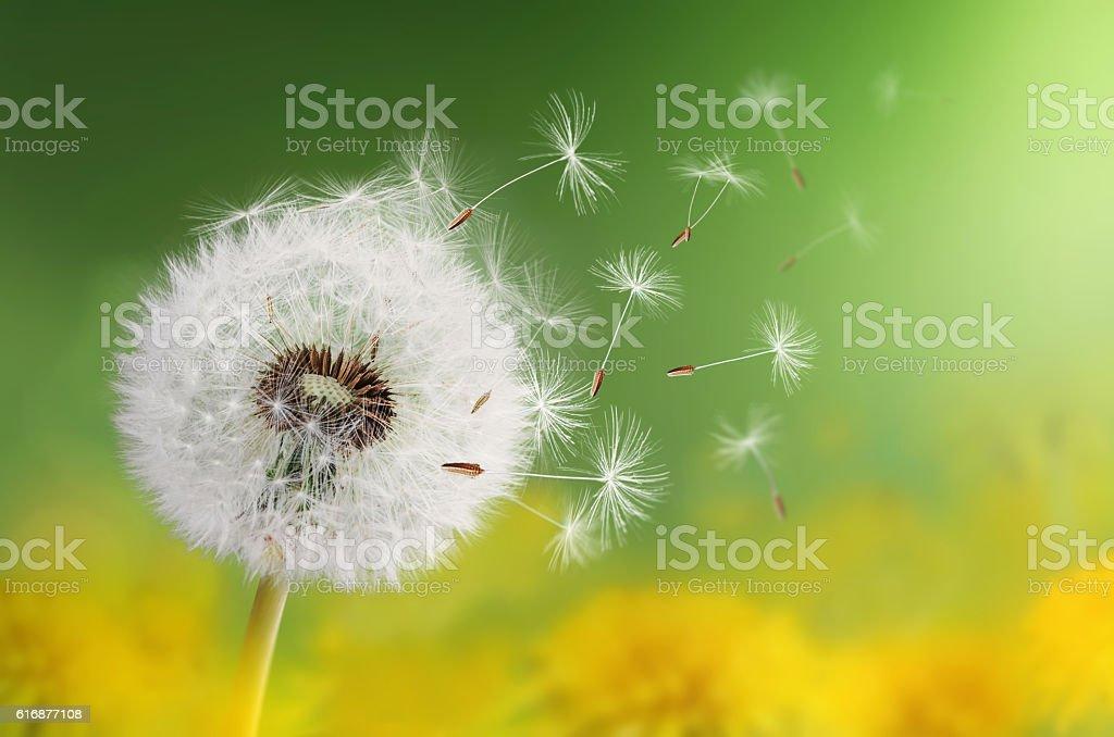 Dandelion clock in morning stock photo