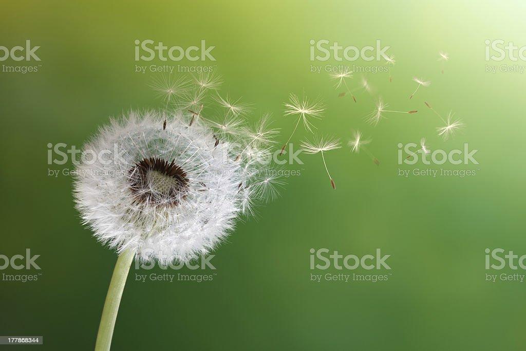 Dandelion clock in morning sun royalty-free stock photo