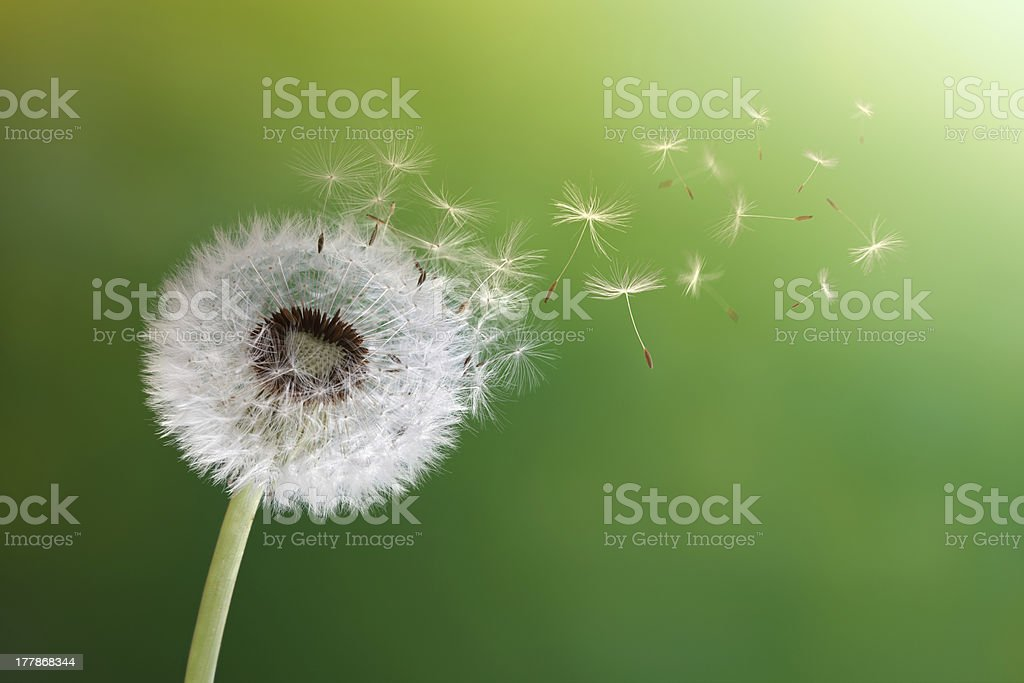 Dandelion clock in morning sun stock photo