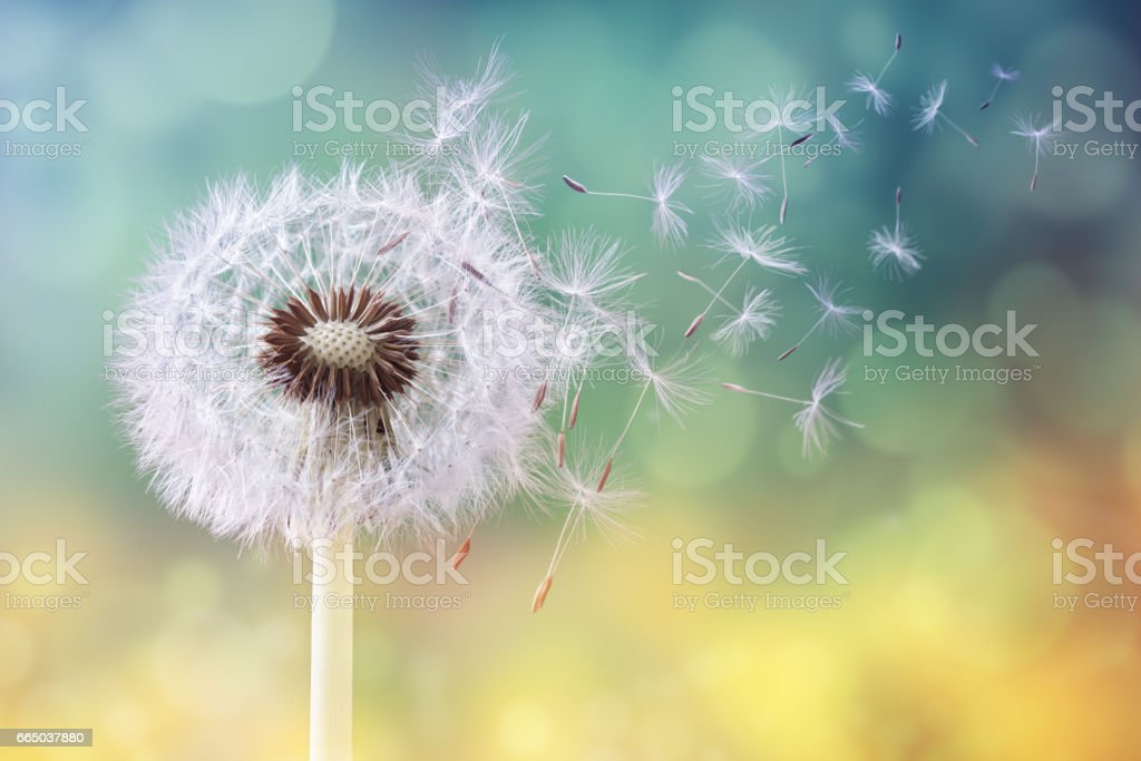 Dandelion clock in morning sun stock photo