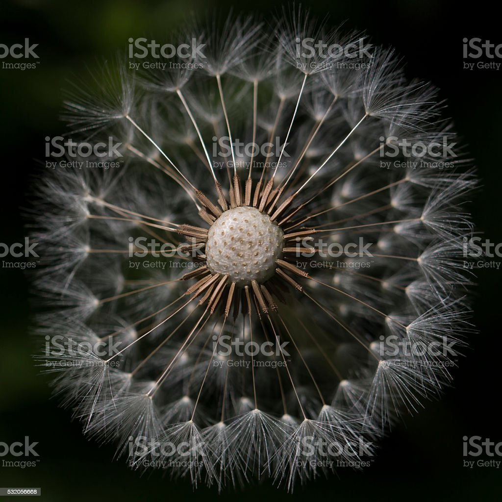 Dandelion Clock Macro - top missing stock photo
