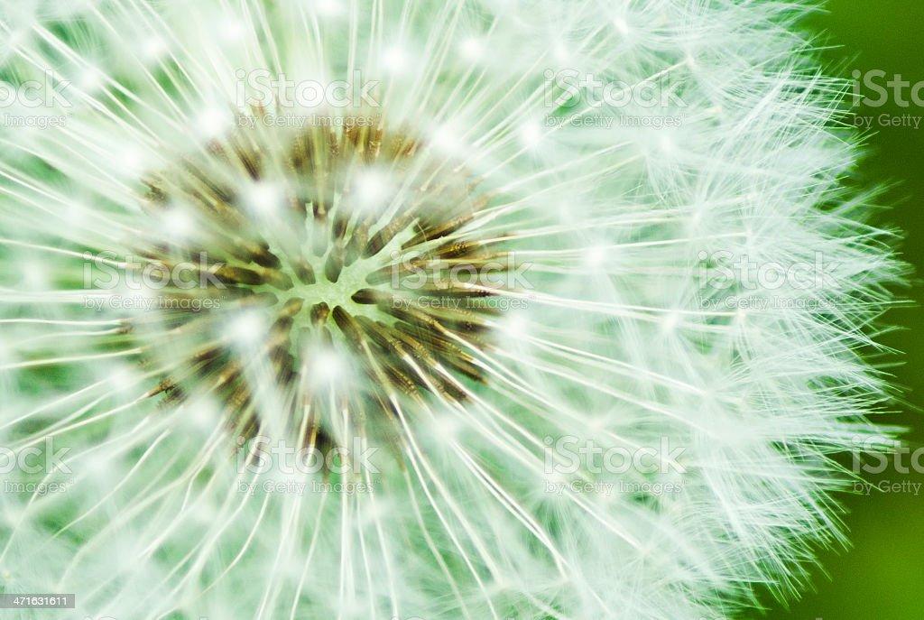 Dandelion Clock royalty-free stock photo