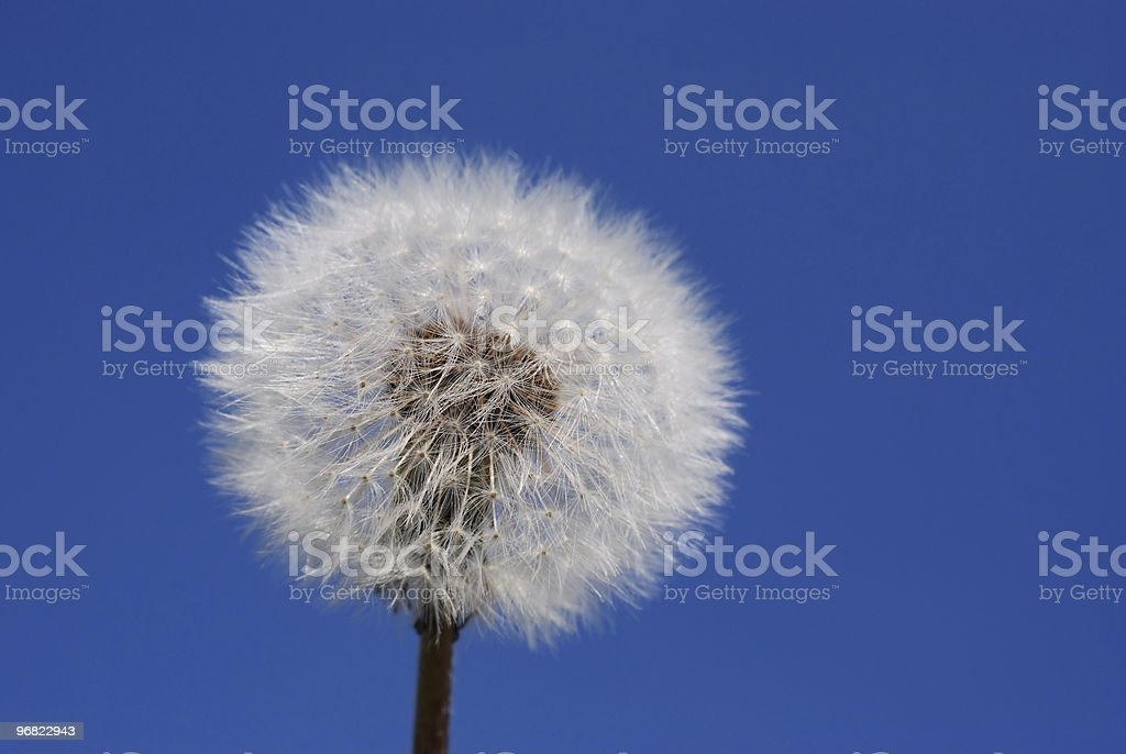 Dandelion clock stock photo