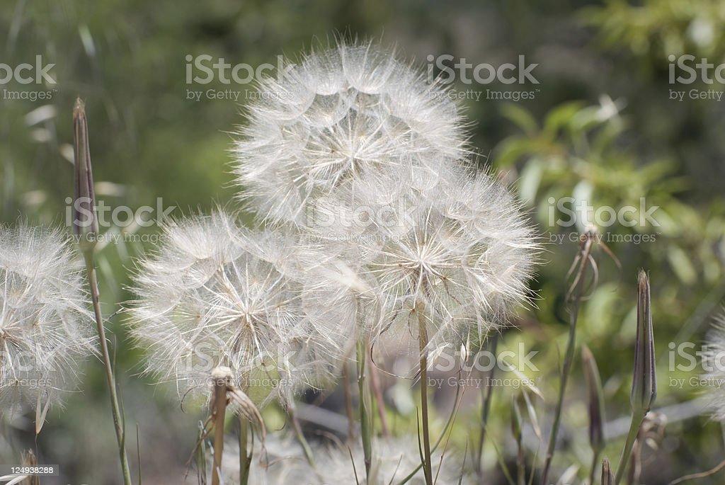 Dandelion clocks, close-up, fine detailed structure stock photo