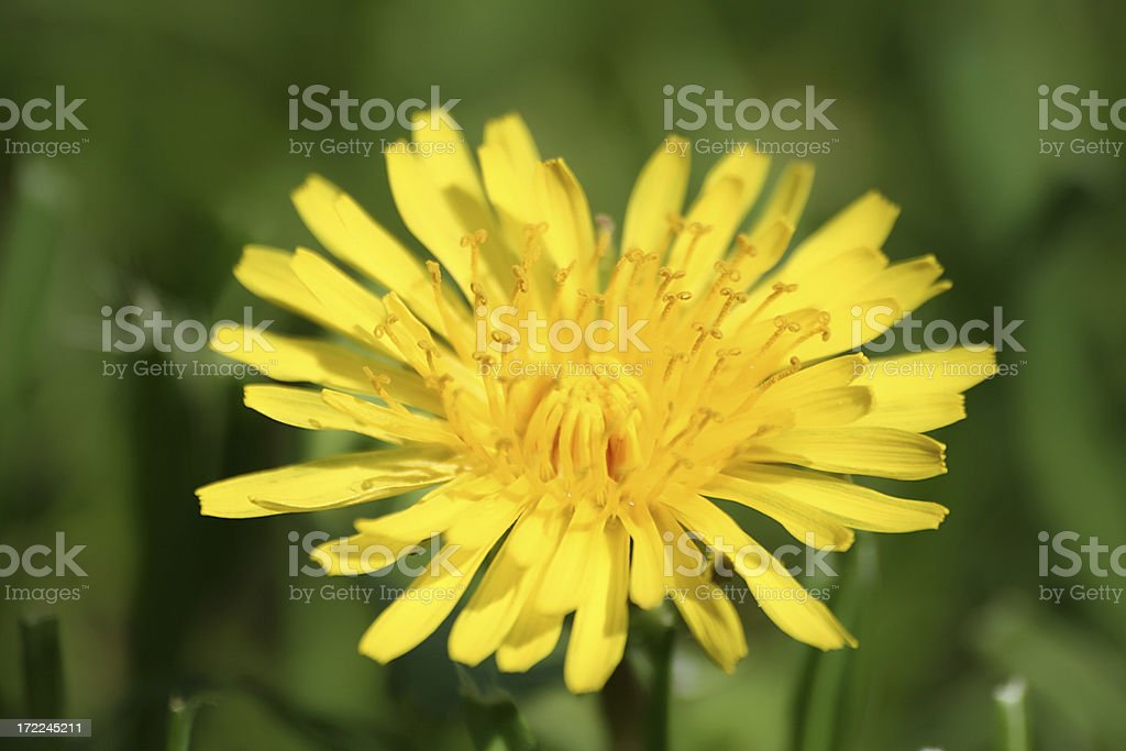 Dandelion, close. royalty-free stock photo