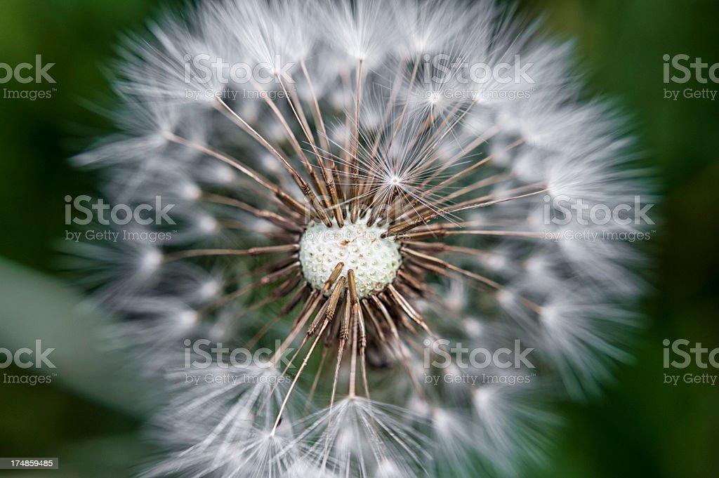 Dandelion close up royalty-free stock photo