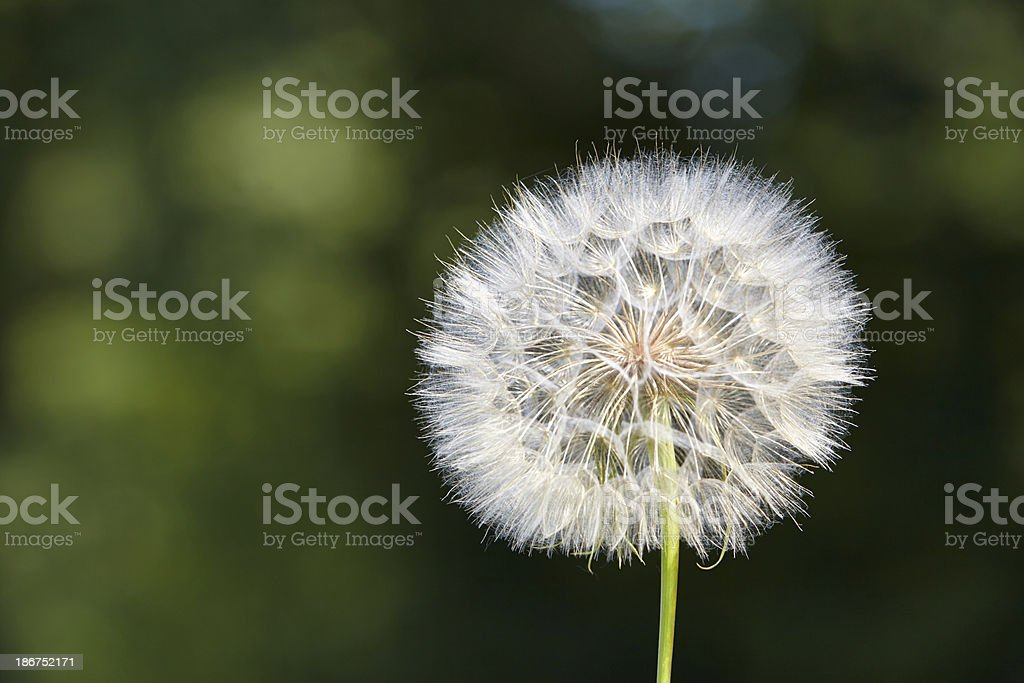 Dandelion close up royalty-free stock photo