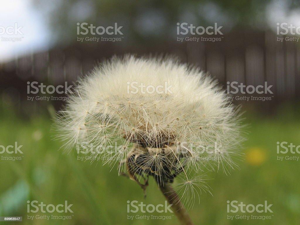 Dandelion Close up stock photo