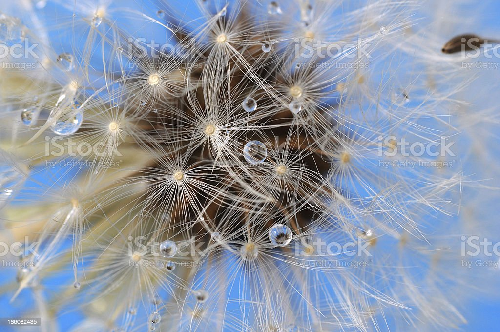 Dandelion closeup on blue sky royalty-free stock photo