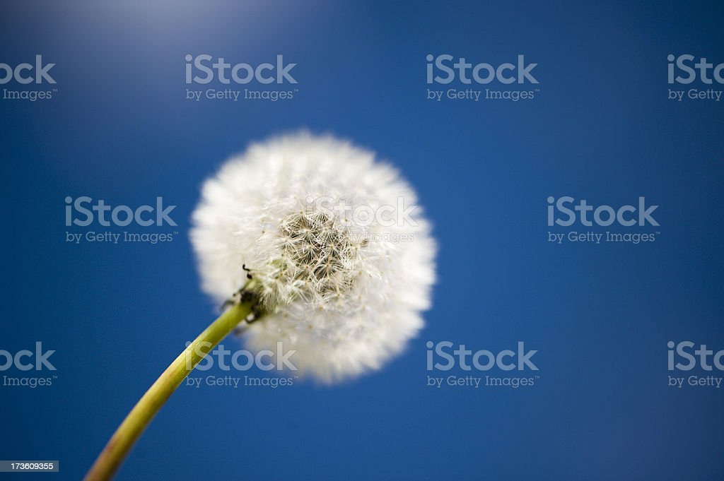 Dandelion Closeup stock photo