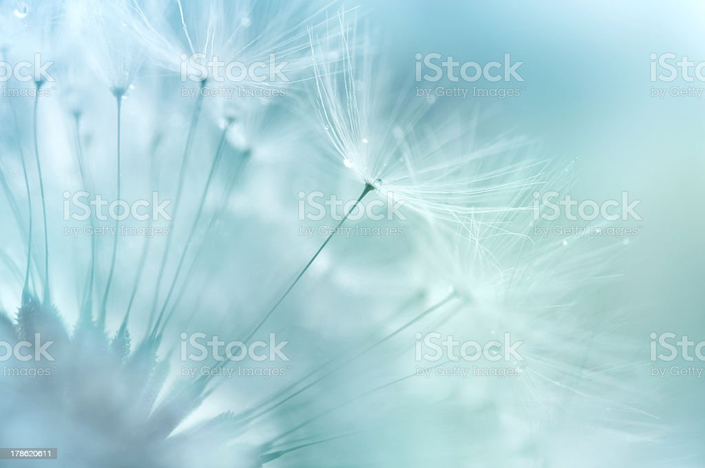 Dandelion Closeup stock photo