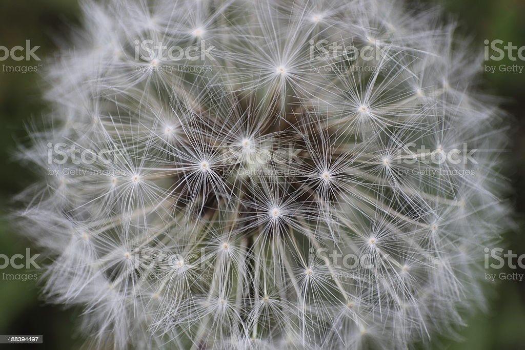 Dandelion close-up stock photo
