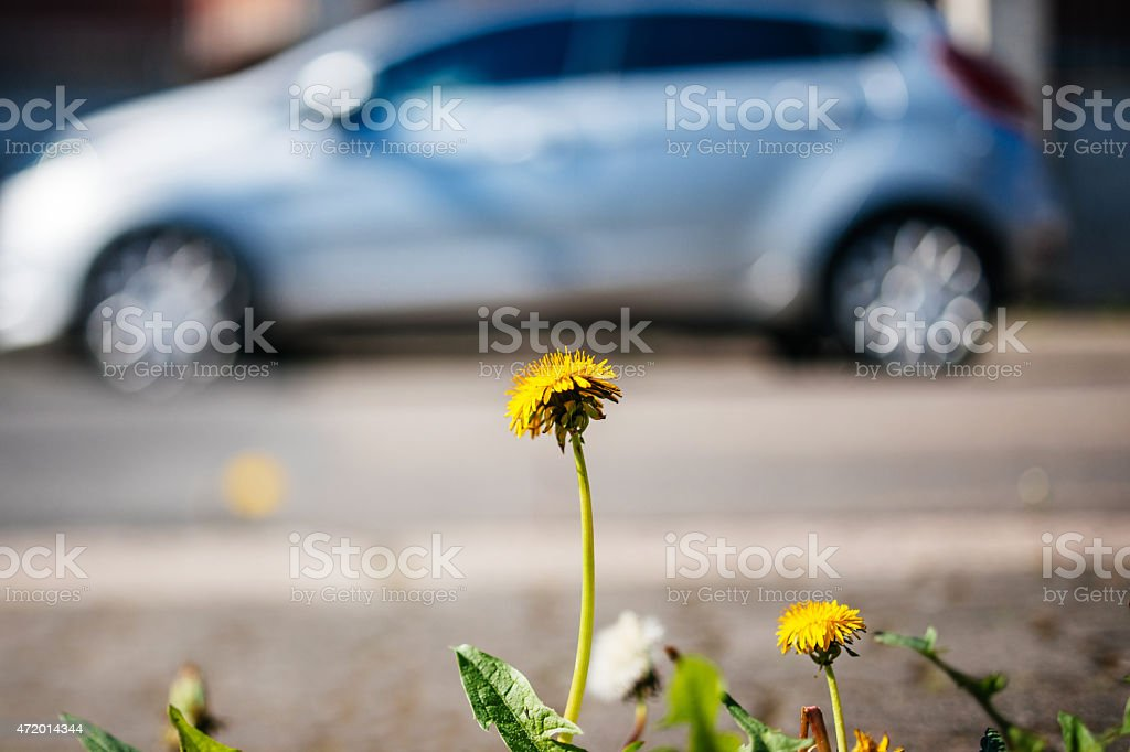 Dandelion closeup with hybrid car in the background ecology envi stock photo