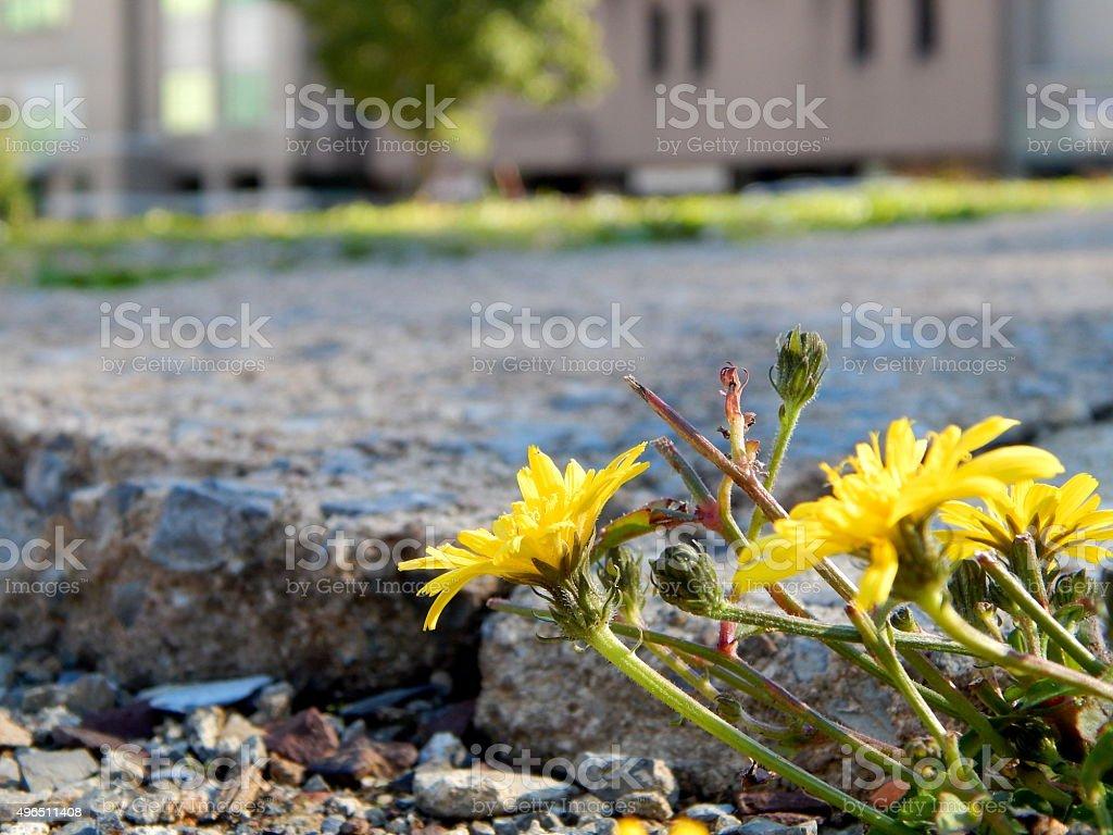 Dandelion Cluster stock photo