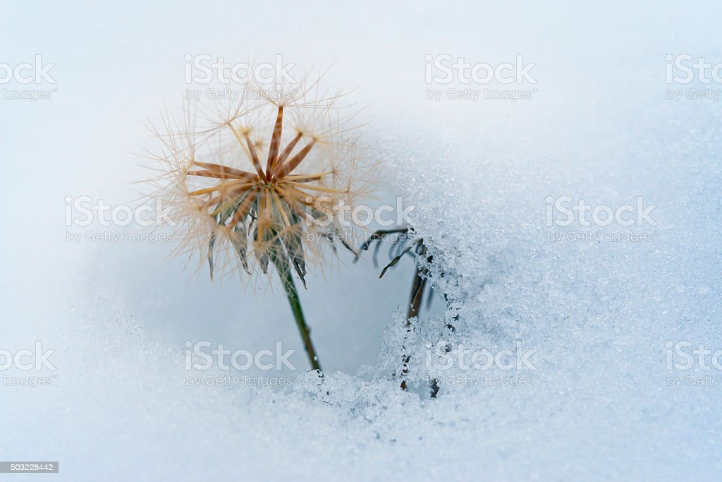Dandelion covered with layer of first snow. stock photo