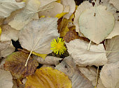 Dandelion covered with yellow autumn leaves