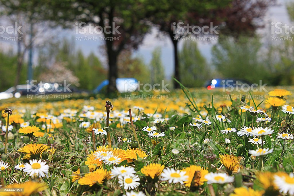 Dandelion delight foto stock royalty-free