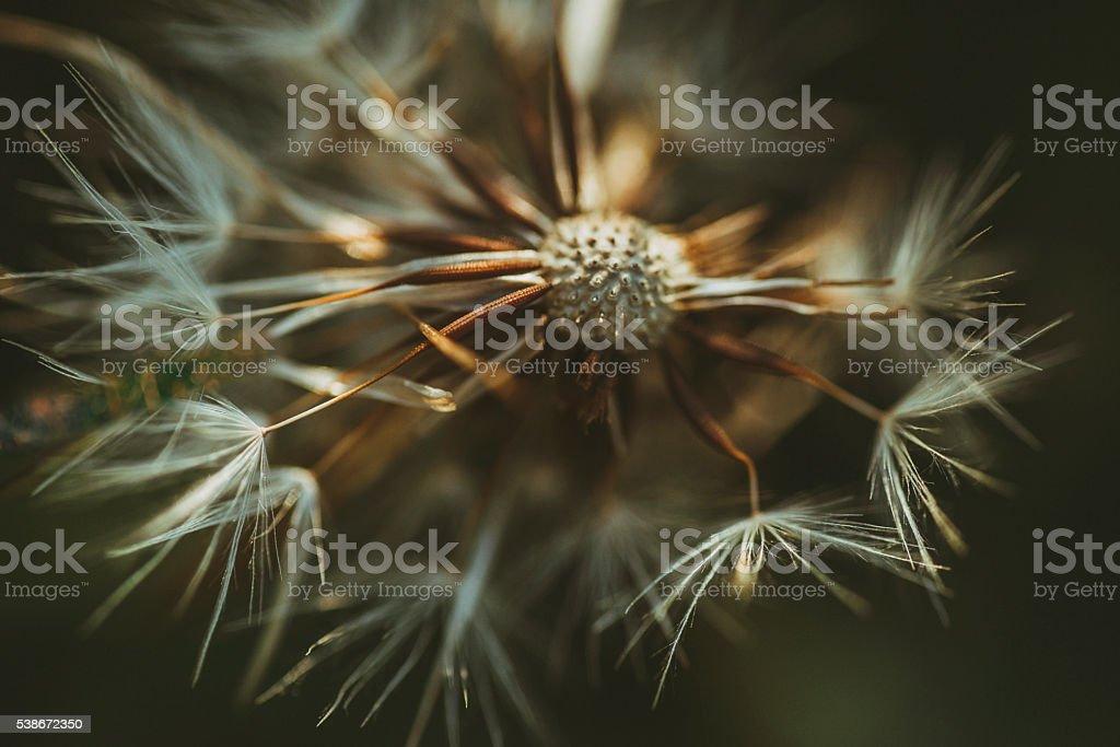 Dandelion detail stock photo