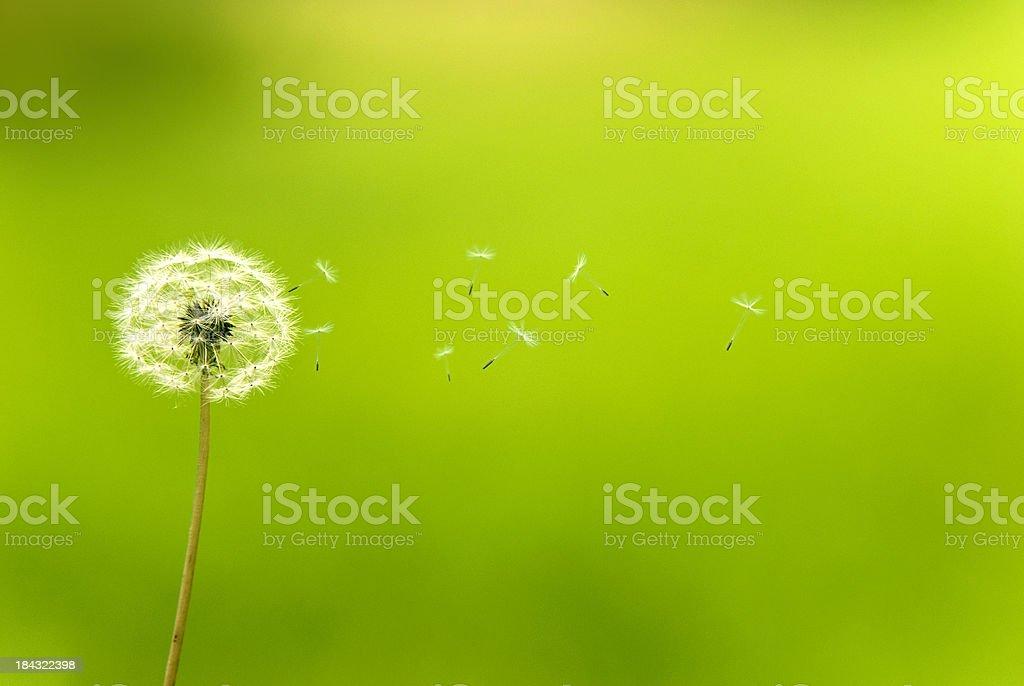 Dandelion dispersing seed stock photo