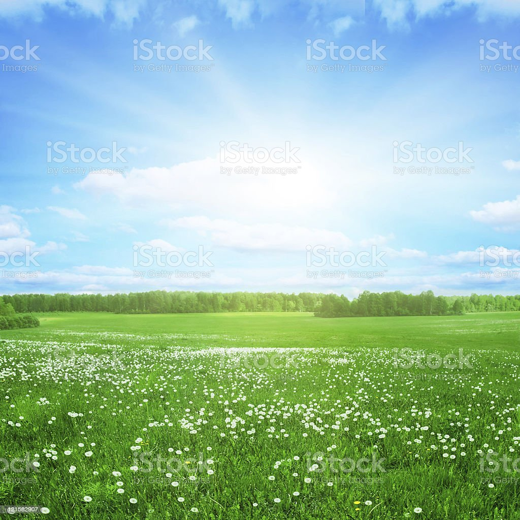Dandelion field and sunlight. royalty-free stock photo