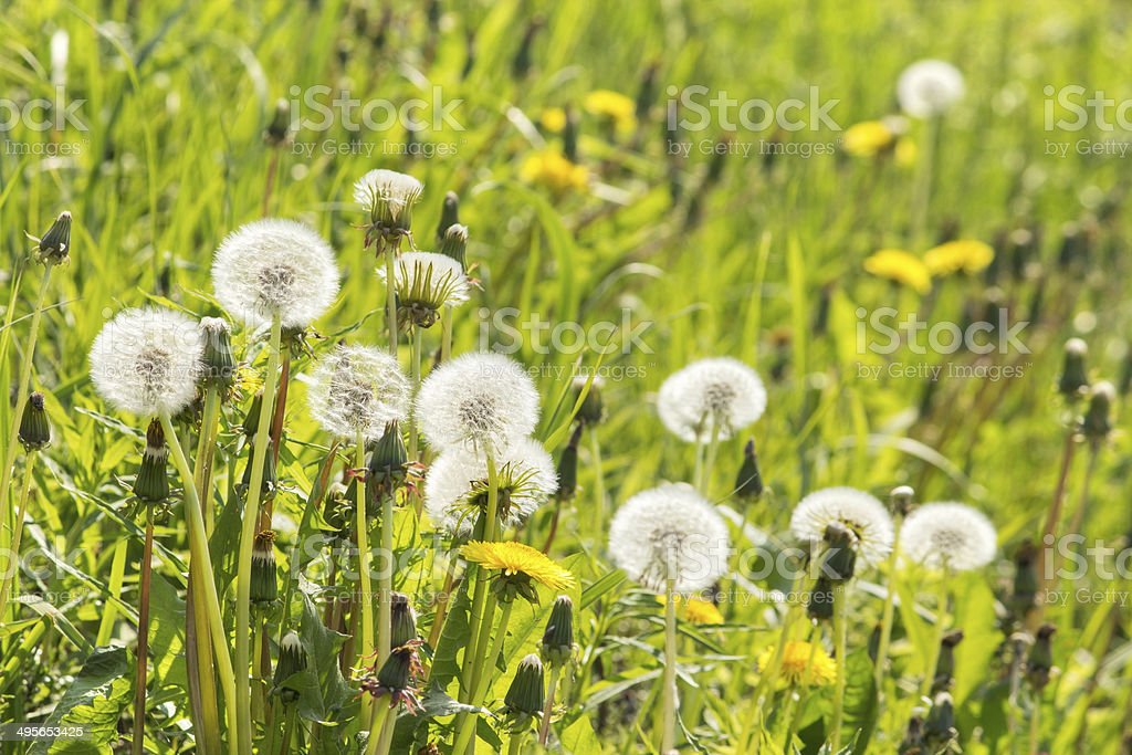 Dandelion field closeup royalty-free stock photo
