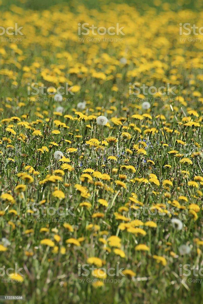 Dandelion field. royalty-free stock photo