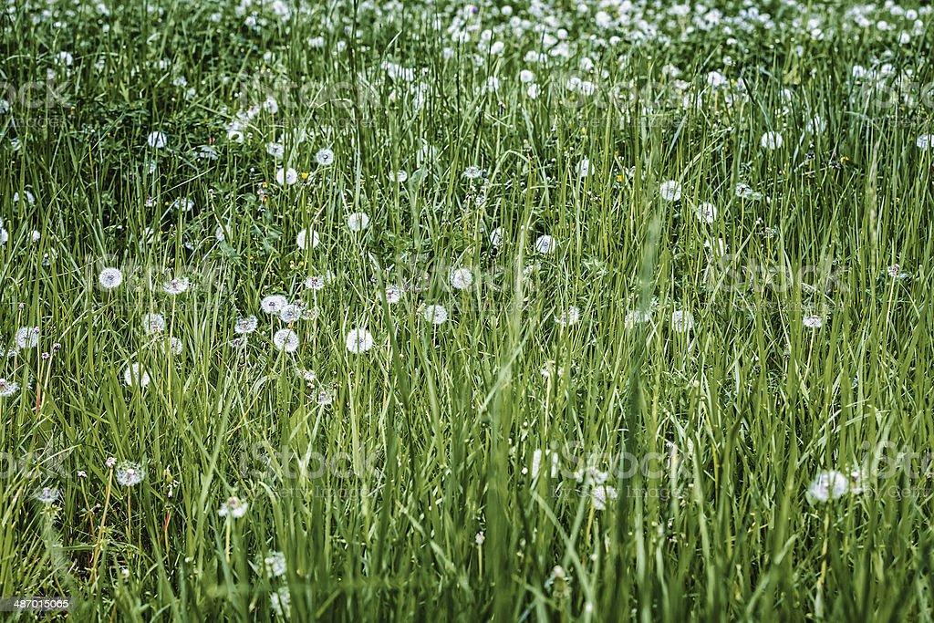 Dandelion Field royalty-free stock photo