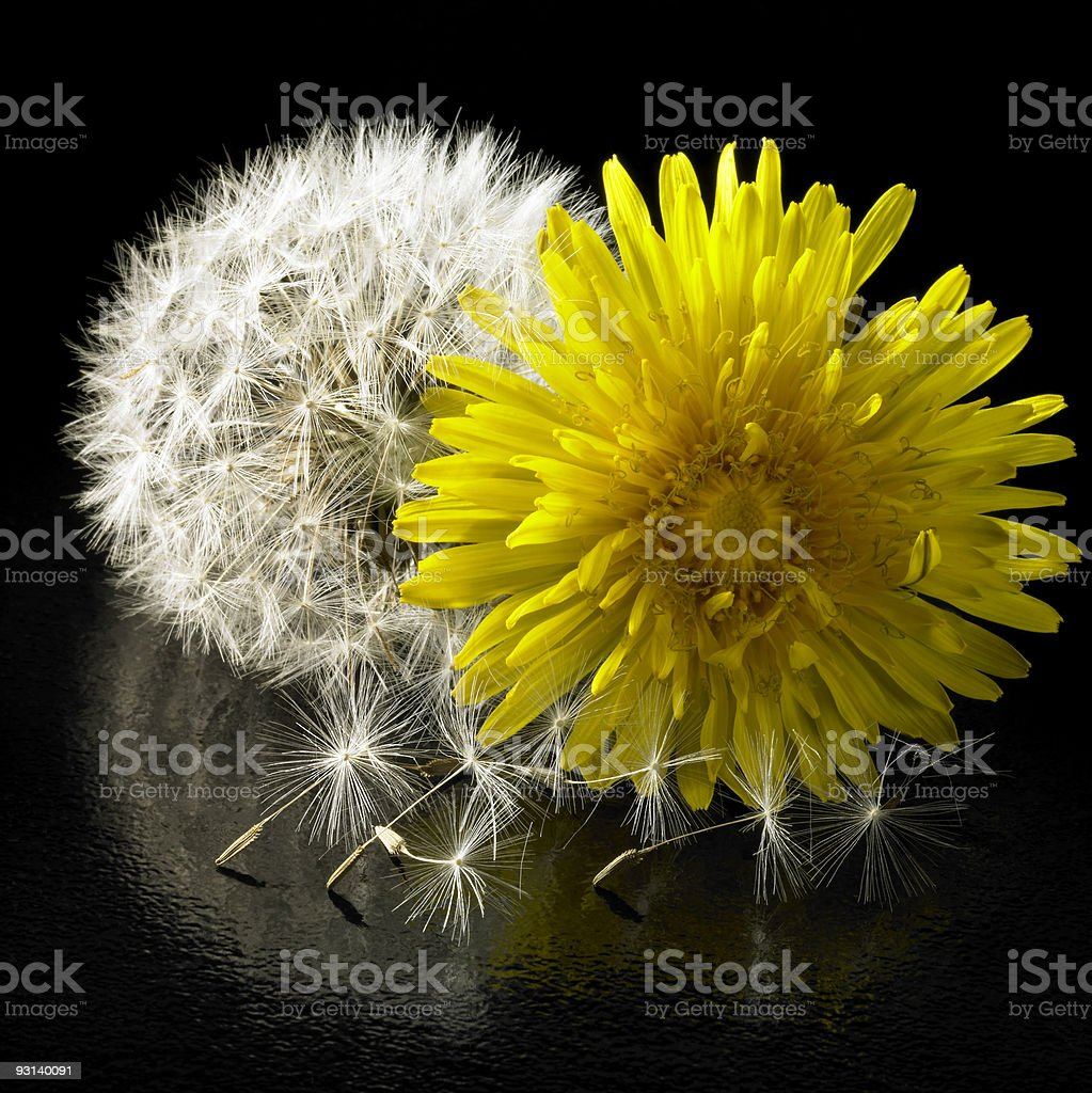 dandelion flower and blowball royalty-free stock photo
