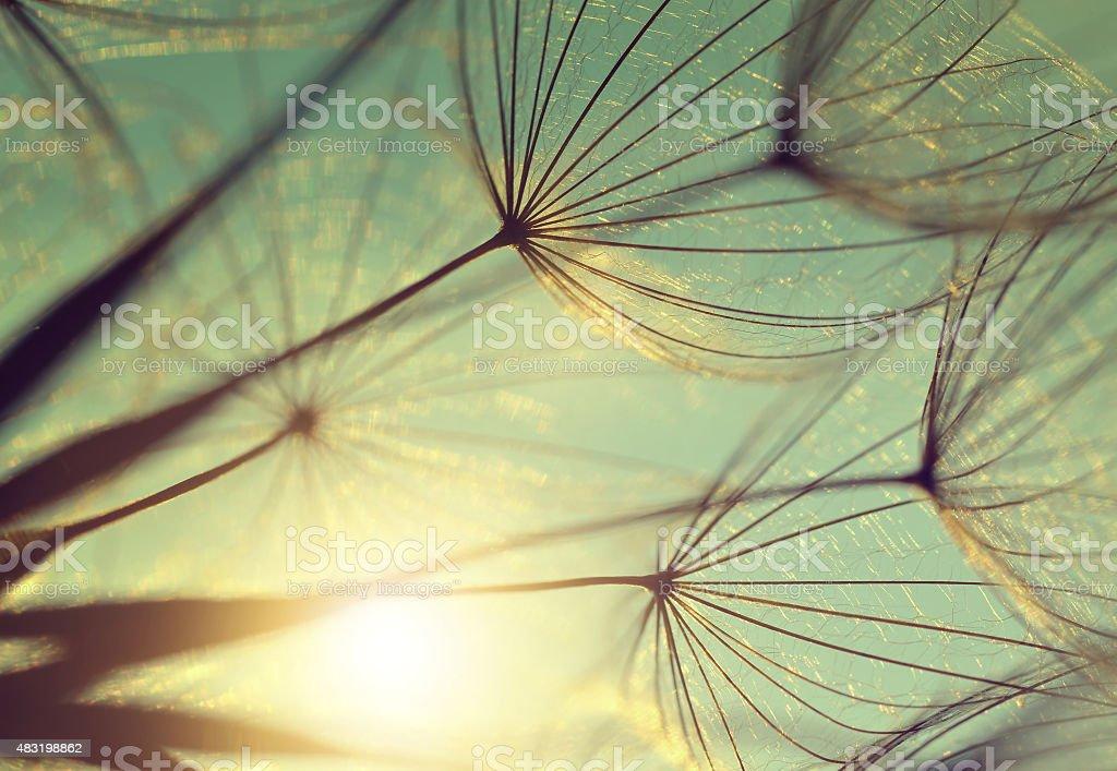Dandelion flower at sunset stock photo