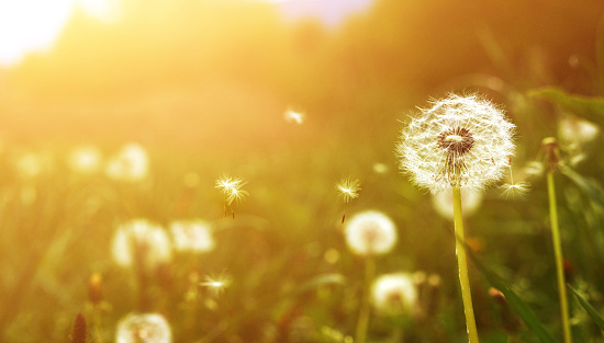 nature sunset grass dandelion - photo #15