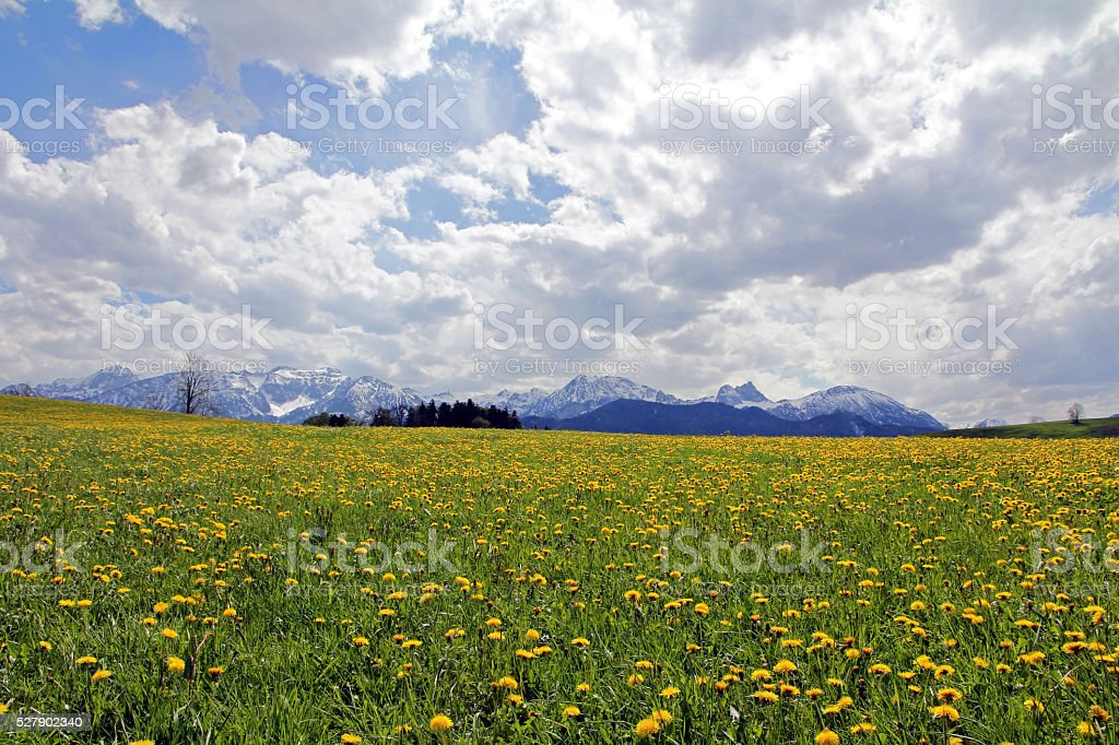 Dandelion flower before the snowy Alps in Bavaria stock photo