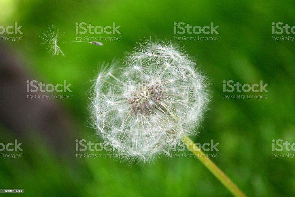 Dandelion Flower Clock stock photo