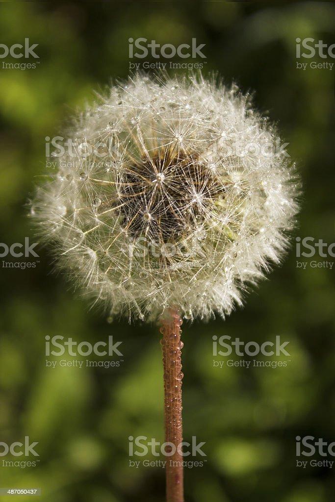 Dandelion flower in a field stock photo