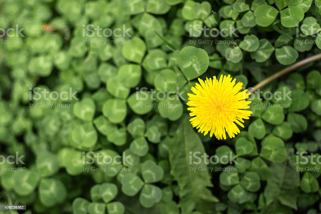 Dandelion Flower in Bloom stock photo