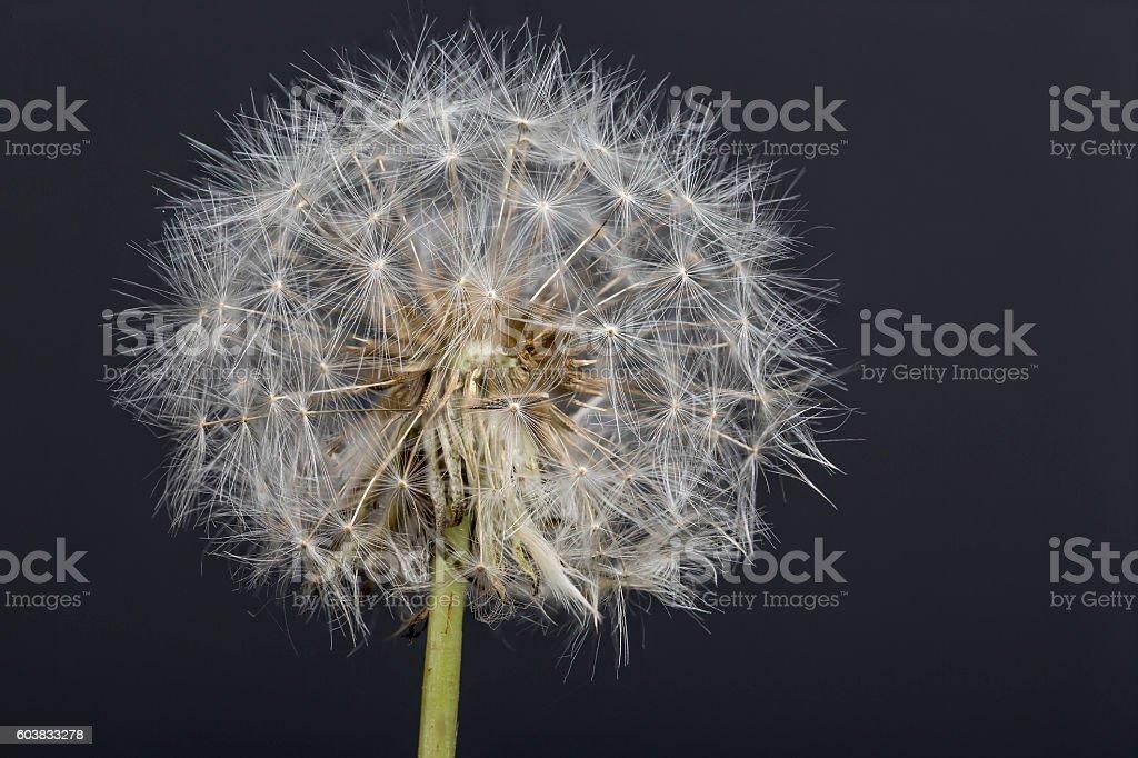 Dandelion flower macro photography with dark background stock photo
