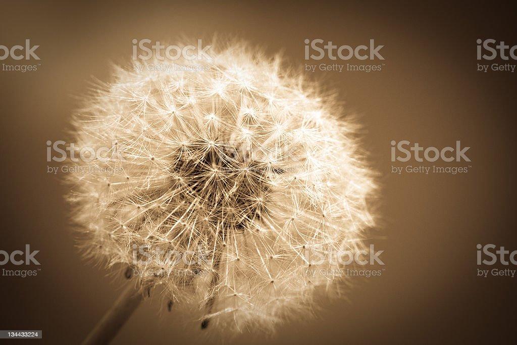 Dandelion Flower Macro, Sepia Toned royalty-free stock photo