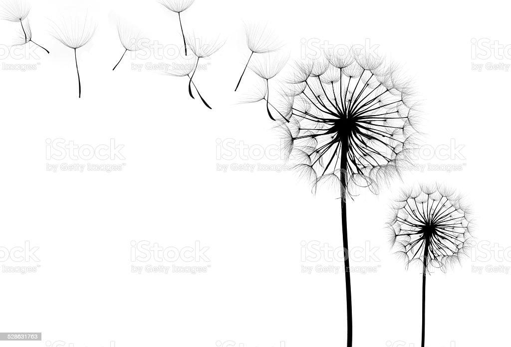 dandelion flower on a white background stock photo